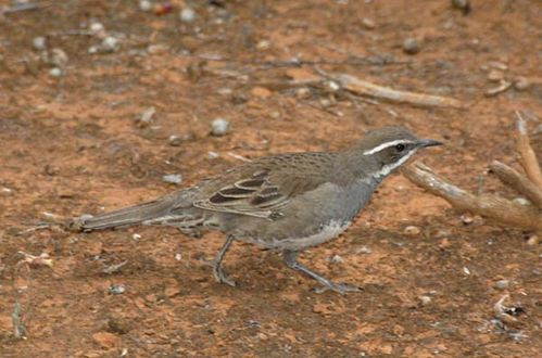 Chestnut Quail-thrush | Cinclosoma castanotus photo