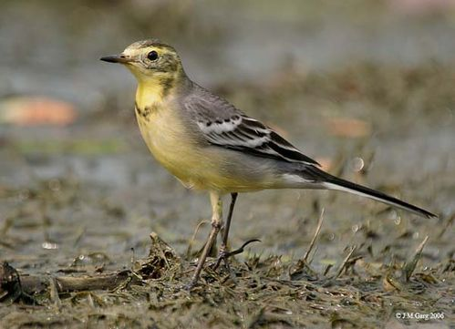 Citrine Wagtail | Motacilla citreola photo