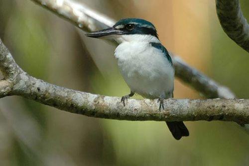 Collared Kingfisher | Todiramphus chloris photo