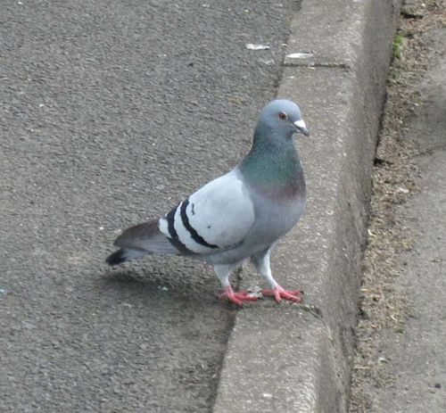 Domestic Pigeon | Columba livia photo