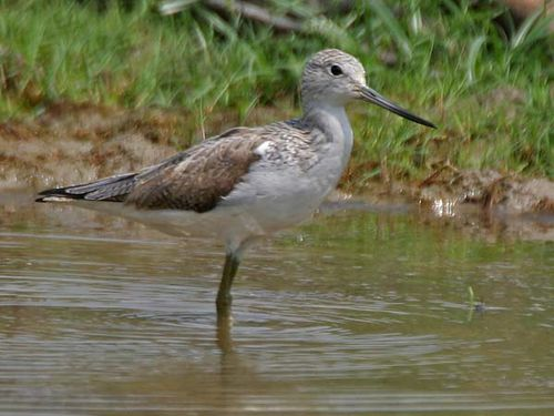 Common Greenshank | Tringa nebularia photo