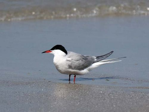 Common Tern | Sterna hirundo photo