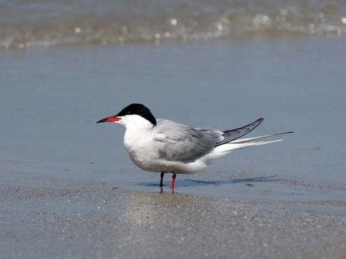 Common Tern | Sterna hirundo photo