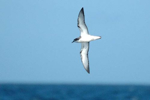 Cooks Petrel | Pterodroma cookii photo