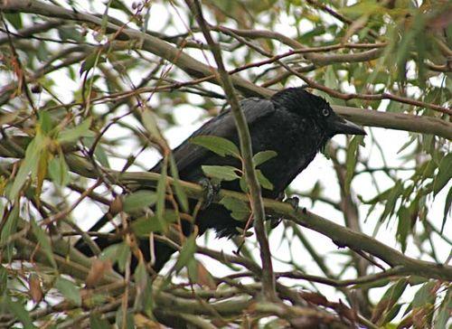 Little Raven   Corvus mellori photo