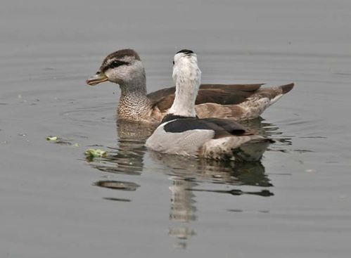 Cotton Pygmy-goose | Nettapus coromandelianus photo