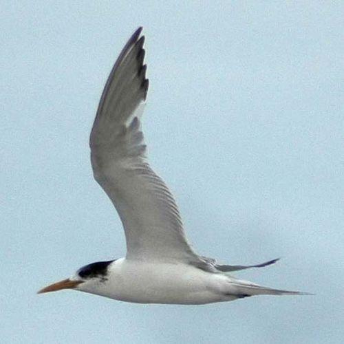 Crested Tern | Sterna bergii photo