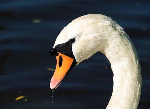 Mute Swan | Cygnus olor photo