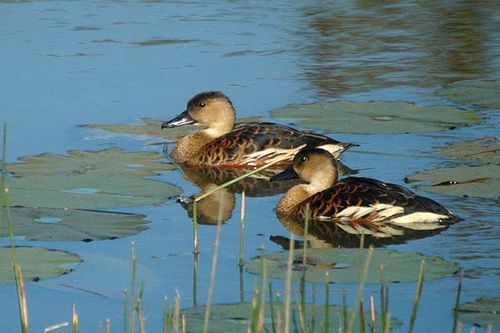Wandering Whistling-Duck | Dendrocygna arcuata photo