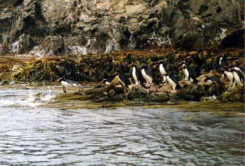Snares Penguin | Eudyptes robustus photo