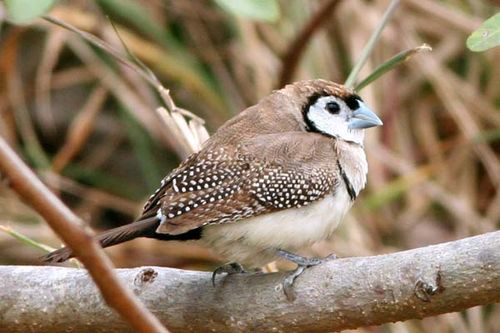 Double-barred Finch | Taeniopygia bichenovii photo
