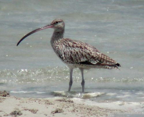 Eastern Curlew | Numenius madagascariensis photo