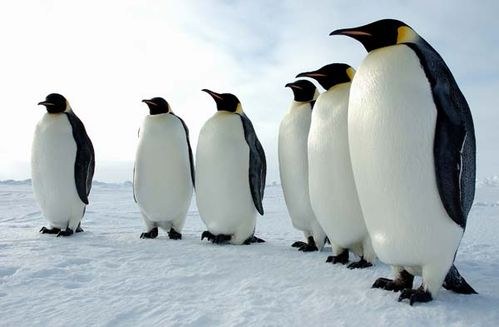 Emperor Penguin | Aptenodytes forsteri photo