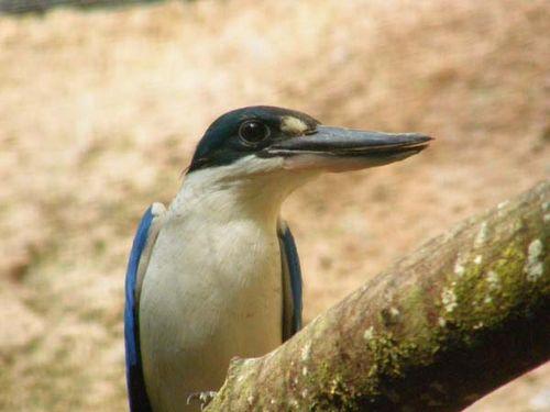 Forest Kingfisher | Todiramphus macleayii photo
