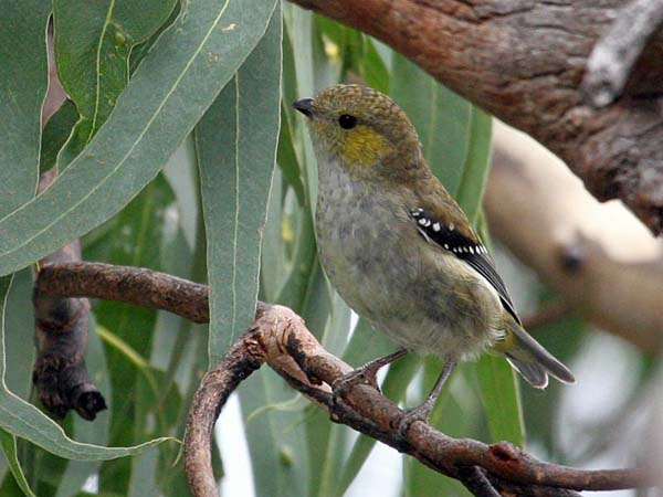 Forty-spotted Pardalote | Pardalotus quadragintus photo
