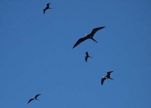 Lesser Frigatebird | Fregata ariel photo