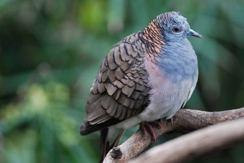 Bar-shouldered Dove | Geopelia humeralis photo