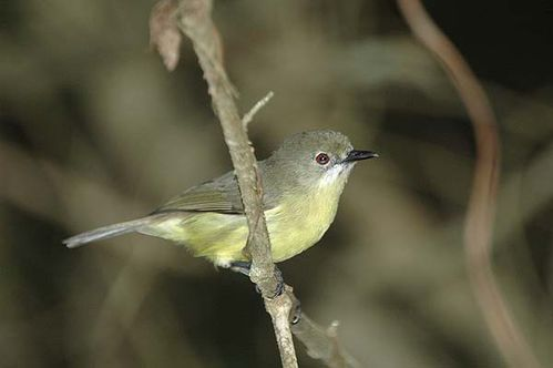 Fairy Gerygone | Gerygone palpebrosa photo
