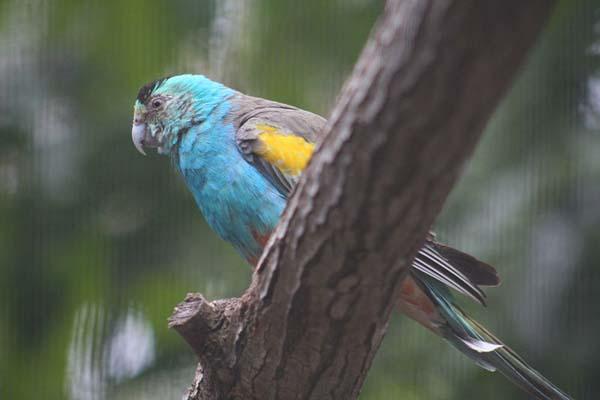 Golden-shouldered Parrot | Psephotus chrysopterygius photo