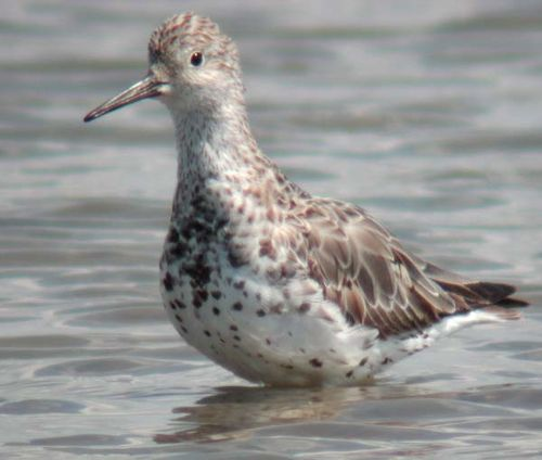 Great Knot | Calidris tenuirostris photo