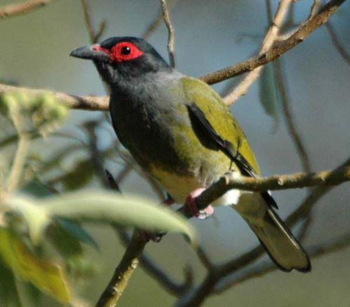 Australasian Figbird | Sphecotheres vieilloti photo