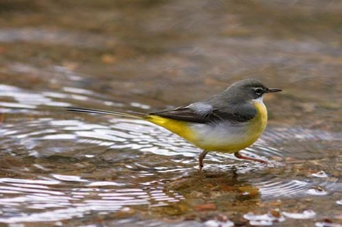 Grey Wagtail | Motacilla cinerea photo