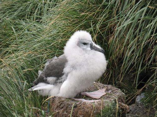 Grey-headed Albatross | Thalassarche chrysostoma photo