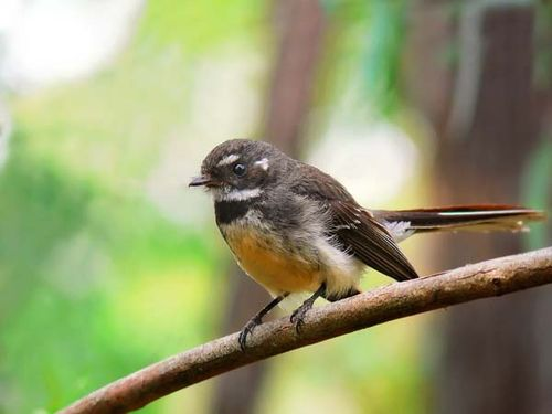 Grey Fantails are ubiquitous