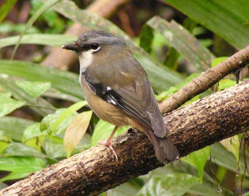 Grey-headed Robin | Poecilodryas albispecularis photo