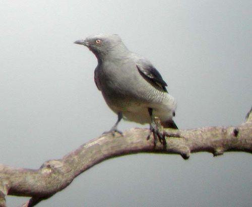 Ground Cuckoo-shrike   Coracina maxima photo