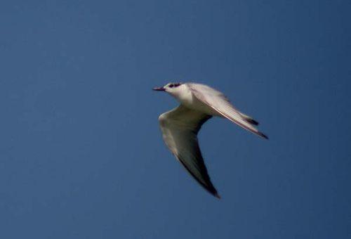 Gull-billed Tern   Sterna nilotica photo