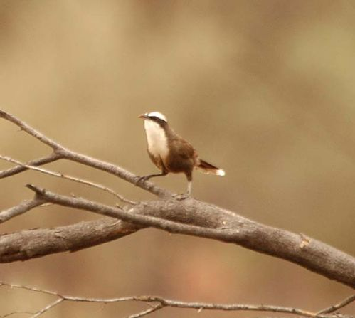Halls Babbler | Pomatostomus halli photo