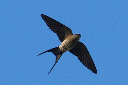 Red-rumped Swallow | Cecropis daurica photo