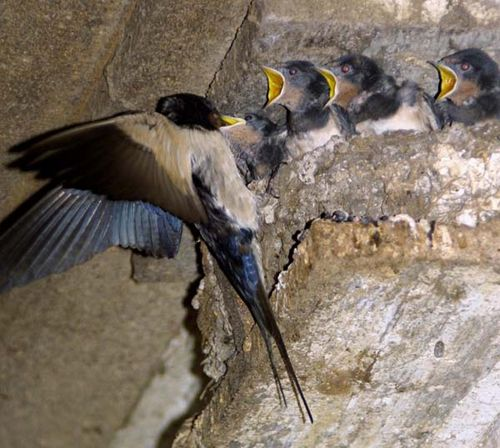 Barn Swallow | Hirundo rustica photo