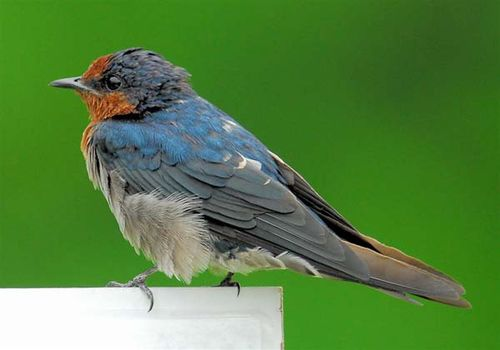Pacific Swallow | Hirundo tahitica photo