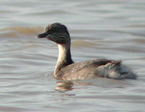 Hoary-headed Grebe | Poliocephalus poliocephalus photo