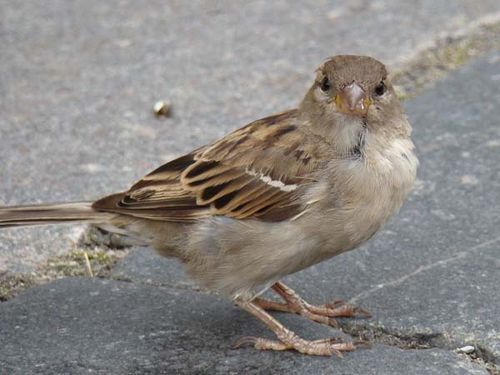 House Sparrow | Passer domesticus photo