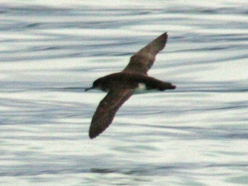 Huttons Shearwater | Puffinus huttoni photo