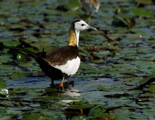 Pheasant-tailed Jacana | Hydrophasianus chirurgus photo