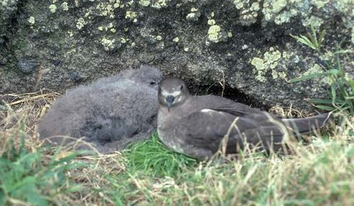Kermadec Petrel | Pterodroma neglecta photo