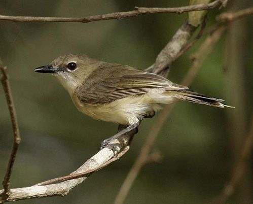 Large-billed Gerygone | Gerygone magnirostris photo