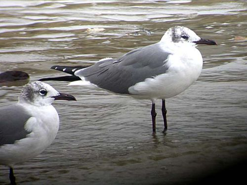 Laughing Gull | Larus atricilla photo