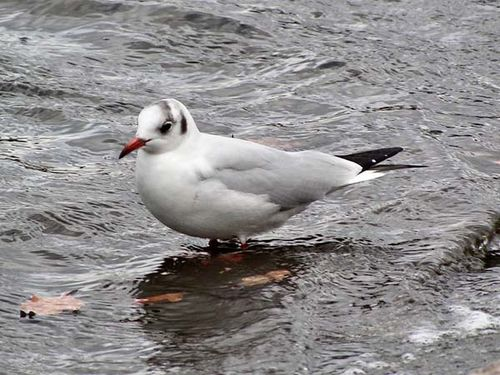 Black-headed Gull | Larus ridibundus photo