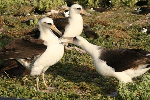 Laysan Albatross | Phoebastria immutabilis photo