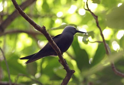 Lesser Noddy | Anous tenuirostris photo
