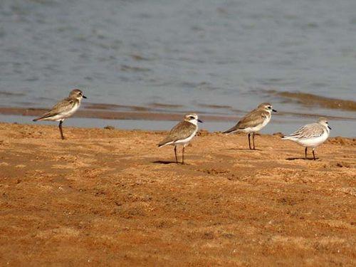 Lesser Sand Plover | Charadrius mongolus photo