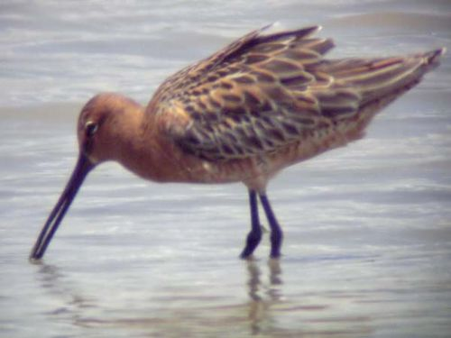 Asian Dowitcher | Limnodromus semipalmatus photo