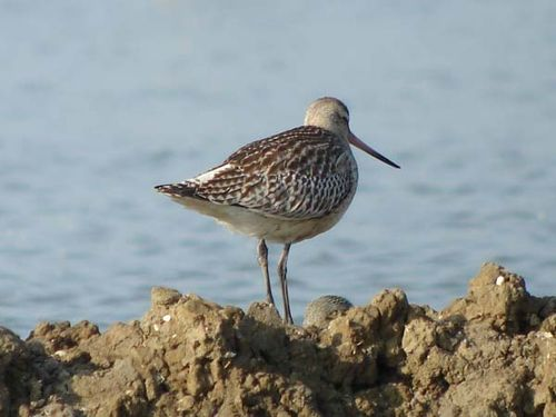 Bar-tailed Godwit | Limosa lapponica photo