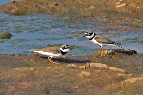 Little Ringed Plover | Charadrius dubius photo