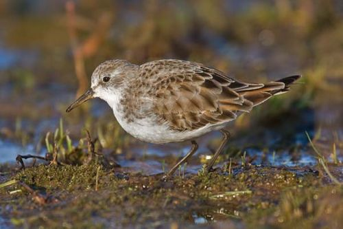 Little Stint | Calidris minuta photo